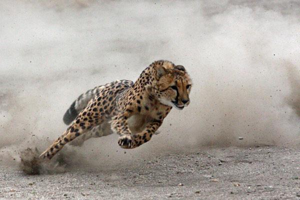 Znalezione obrazy dla zapytania gepard