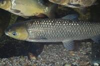 Amur pod wodą