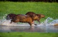 Biegnace kapibary