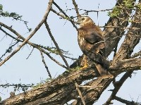 Błotniak łąkowy na drzewie