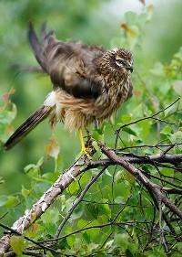 Błotniak zbożowy na gałęzi