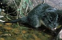 Bobroszczur nad brzegiem rzeki