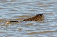 Bobroszczur w wodzie