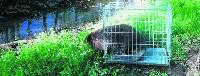 Żywołapki na bobry