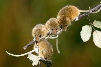 Cztery badylarki na gałęzi