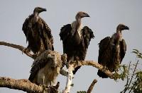 Cztery sępy bengalskie