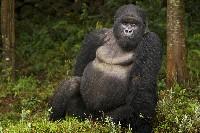 Dorosły goryl nizinny