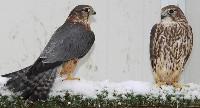 Drzemlik samica i samiec