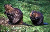 Dwa bobry kanadyjskie na trawie