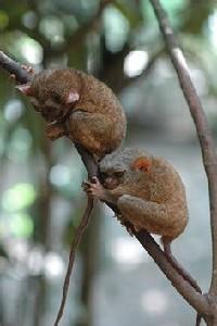 Dwa wyraki filipińskie na gałęzi