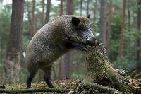 Dzik w lesie