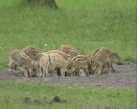 Dziki na łące