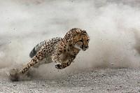 Gepard w biegu