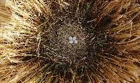 Gniazdo błotniaka łąkowego