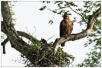 Gniazdo orzełka afrykańskiego