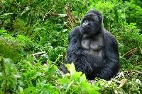 Goryl dorosły samiec