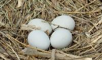 Jaja błotniaka stawowego