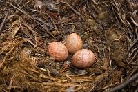 Jaja Pustułki zwyczajnej w gnieździe