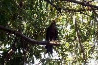 Kania czarna na drzewie