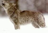 Kojot podczas wycia
