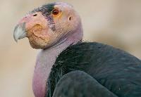 Kondor kalifornijski