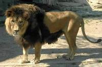 Lwia grzywa