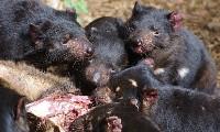 Małe diabły tasmańskie podczas jedzenia padliny