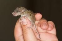 Malutki bobroszczur