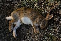 Martwy królik