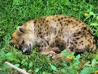 Młoda hiena
