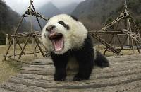 Młoda panda wielka