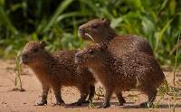 Młode kapibary