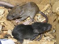 Młode szczury śniade
