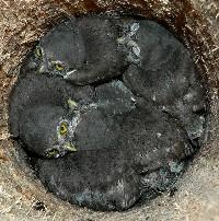 Gniazdo - młode sówki zwyczajne