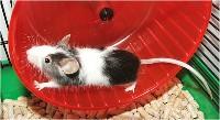 Mysz domowa w kołowrotku