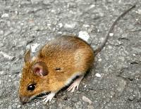 Mysz leśna na kamieniu