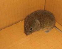 Mysz leśna w kartonie