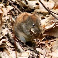 Mysz leśna w liściach