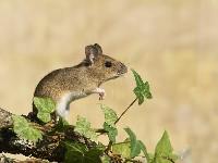 Myszarka zaroślowa na gałęzi