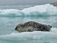 Nerpa na krze lodowej
