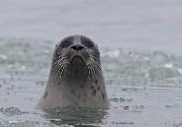 Nerpa (foka obrączkowana)