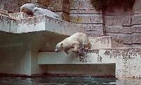 Niedźwiedzie polarne w zoo