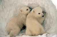 Niedźwiadki polarne