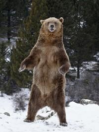 Niedźwiedź brunatny stojacy na dwóch tylnych łapach