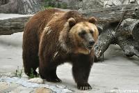 Niedźwieź brunatny zimą