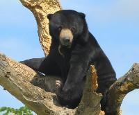 Niedźwiedź malajski na drzewie