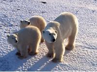 Trzy niedźwiedzie polarne