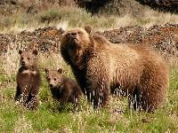 Niedźwiedźica z młodymi na polanie