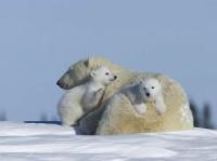 Niedźwiedzica z niedzwiadkami polarnymi