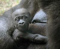 Niemowle goryla